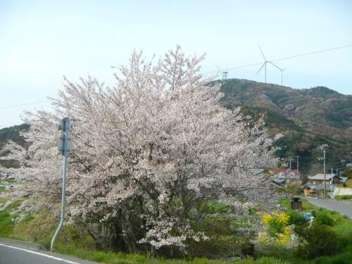 津井郵便局の前の桜。 風力発電との組み合わせが南あわじっぽい。