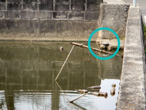 中央にあるため池の亀さん。 冬の間は冬眠で見かけませんでしたが、3月に入って暖かい日にはひなたぼっこしている姿が見られるようになりました。 人が近くを通るとすかさず水の中に隠れます。