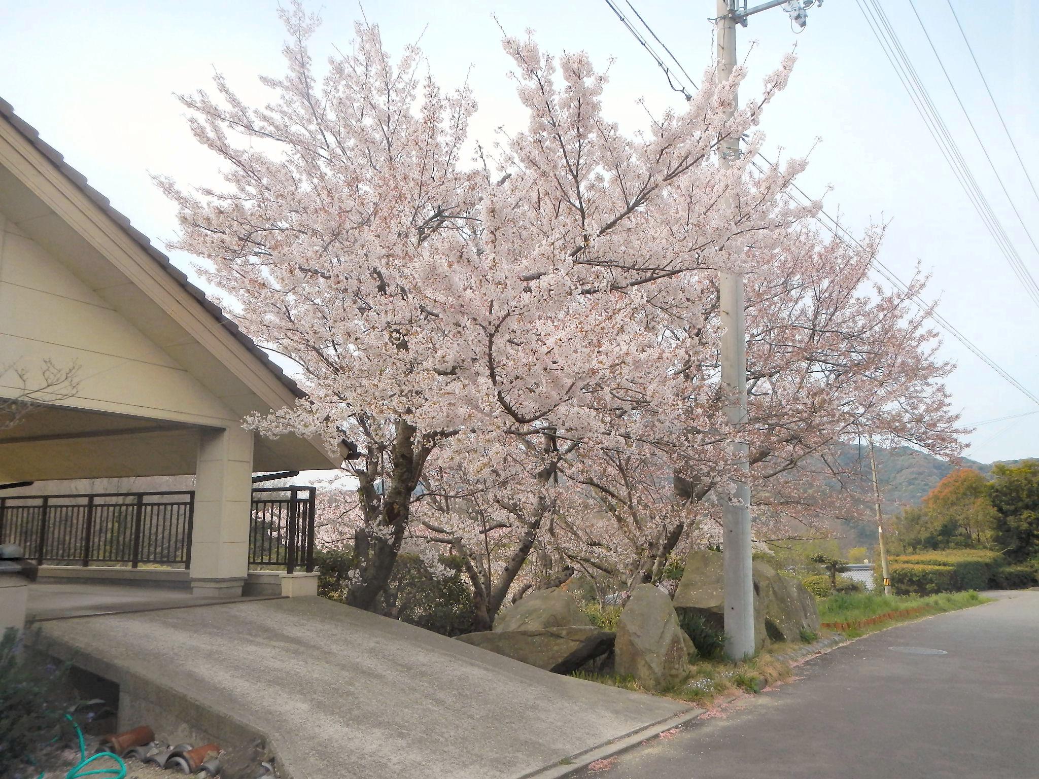 キラキラスポット近くの桜。だんじり祭の頃はまだ咲いていませんでしたが、本当にきれいな桜です。