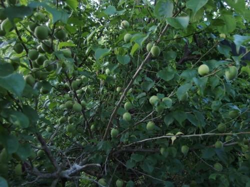 畑に生えている梅の木。 小ぶりな木ながら大量の梅の実がついています。