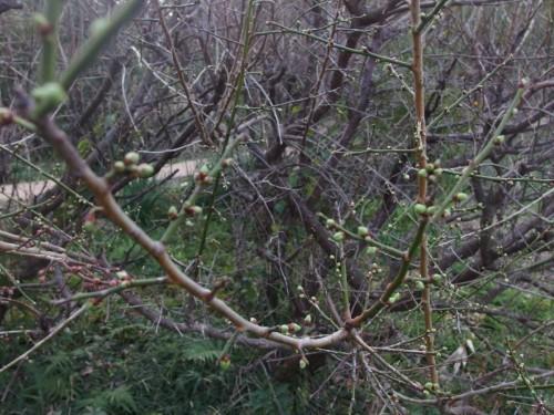 炭焼き場のすぐ隣の梅も、もうつぼみが大きくなってきました