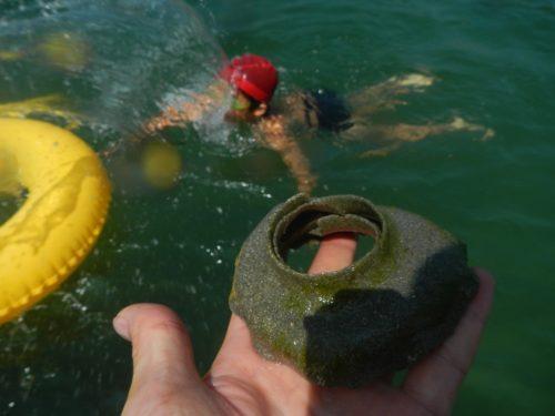 これもツメタガイの卵。 藻がついています。